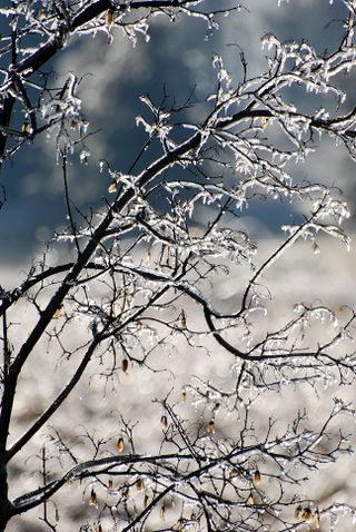 IceTrees2