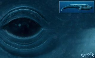 WDCSBlueWhale