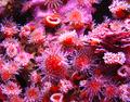 Corallimorph5