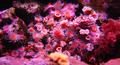Corallimorph6