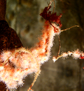 Corallimorph2
