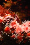Corallimorph4