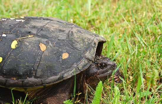 SnappingTurtle2