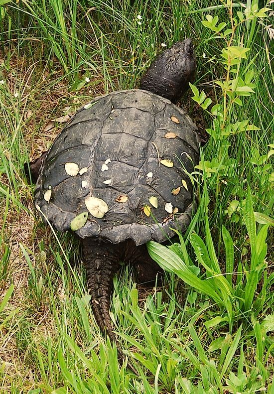 SnappingTurtle3